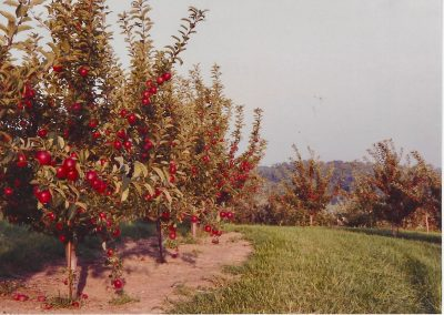 Apple Orchards - 1993